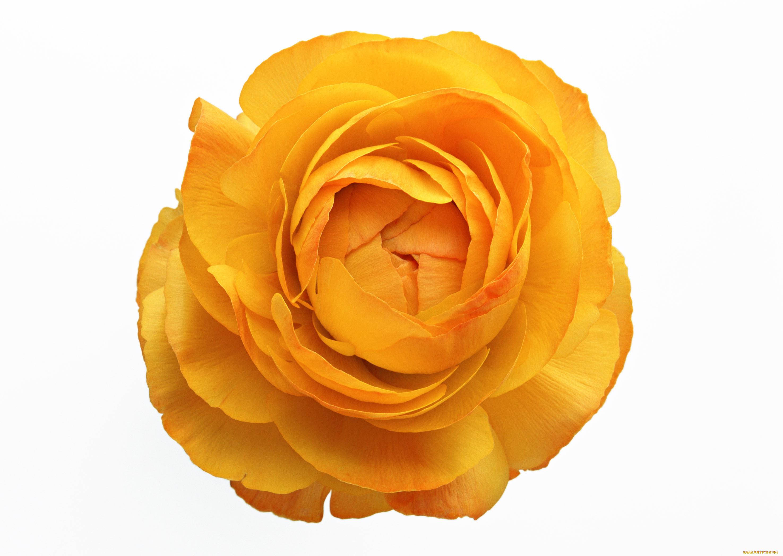 цветок лютик картинка на прозрачном фоне вкусная